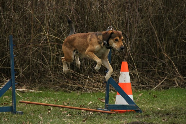 pes při tréninku skoku