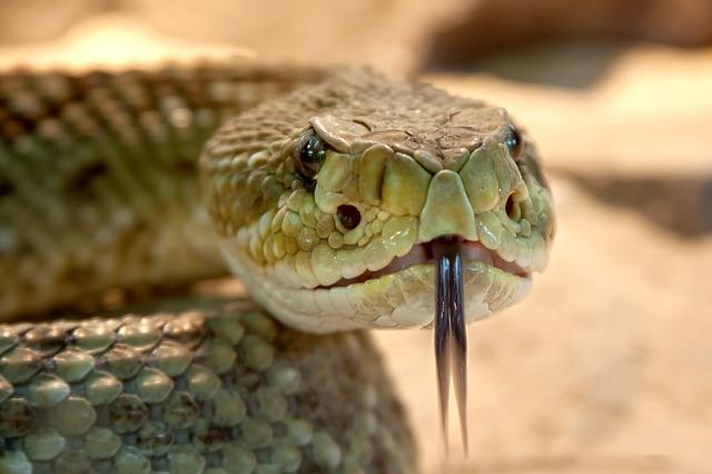 had chřestýš