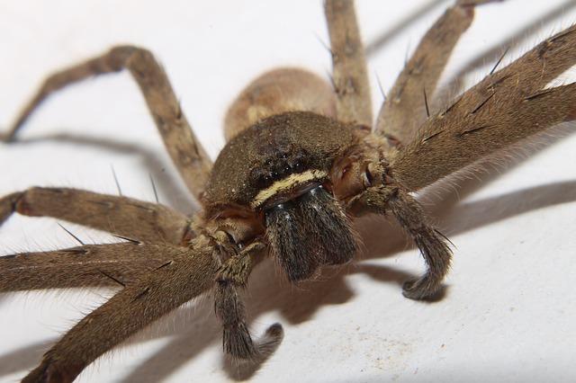 velký pavouk