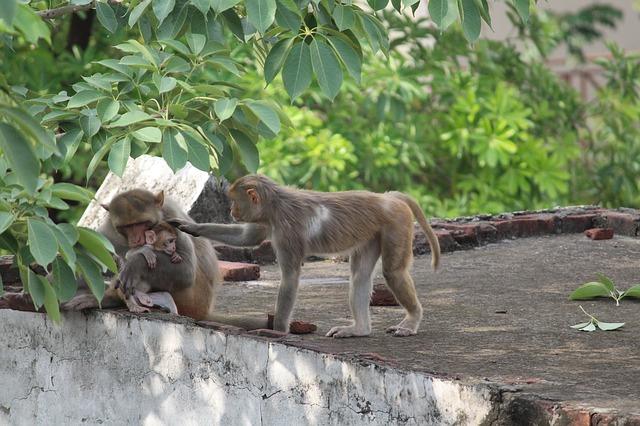 opice na střeše