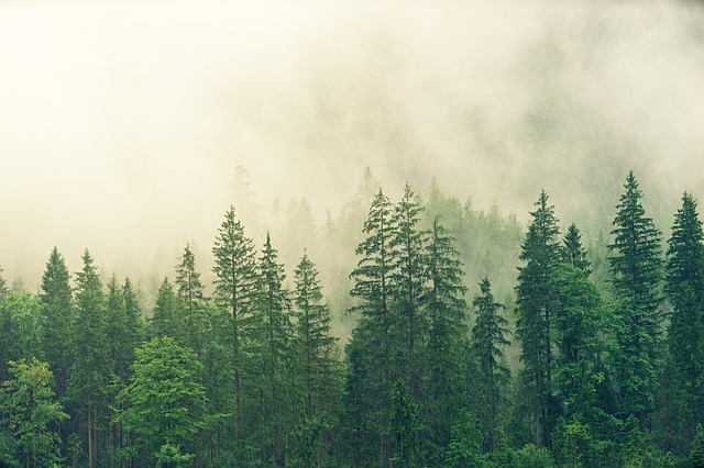 jehličnatý les